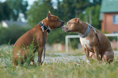 staffordshire: two american staffordshire dogs together
