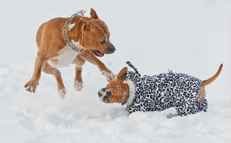 american staffordshire terrier: Two american staffordshire terrier dogs playing in winter