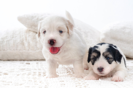 havanese: two cute bichon havanese puppies Stock Photo