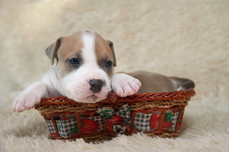 stuff toy: brown and white puppy of the American Staffordshire terrier lying in a basket Stock Photo