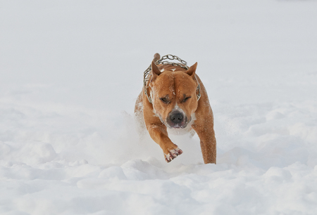 american staffordshire terrier: American staffordshire terrier dog running in winter