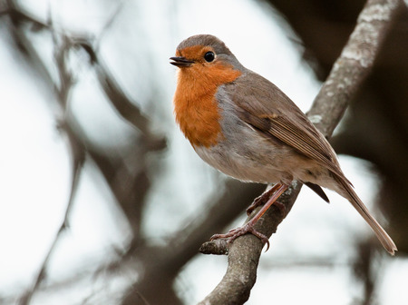 Robin perched on a twig Stock Photo