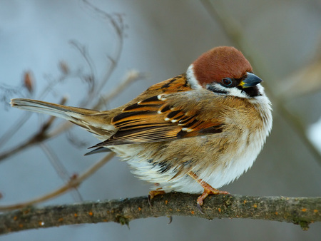 House sparrow perched on a tree branch. Stock Photo