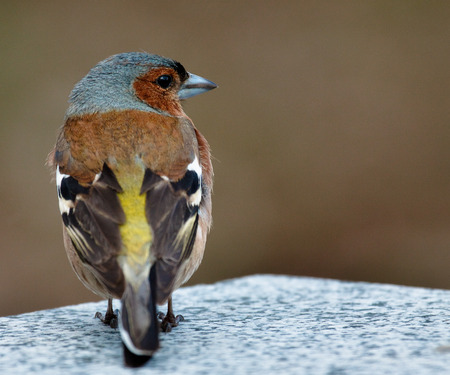 Common chaffinch bird on the stone.