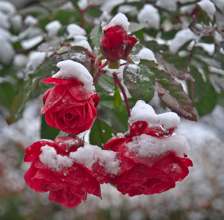 red roses under the snow