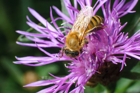 Close Up View of a Pollen Laden Honey Bee Foraging on a Violet Daisy