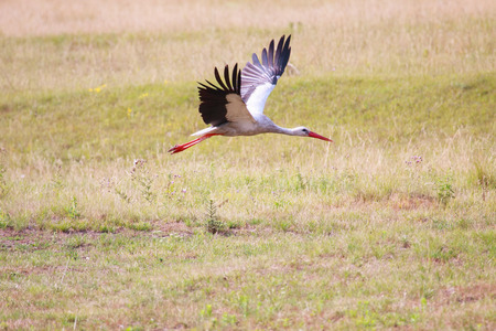 Flying white stork. Spread out wings.