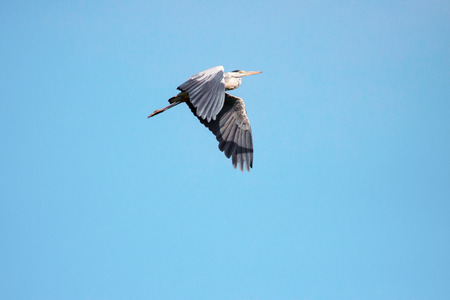 Adult heron in flight Stock Photo