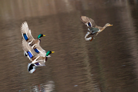 Flying Drake Mallards in Courtship Flight. Ducks fly over water Stock Photo