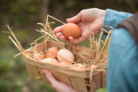 A farmer hand holding a fresh hen egg and other eggs in a basket  스톡 콘텐츠