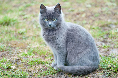 Portrait of gray cat with green eyes sitting on grass