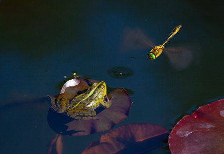 frog hunting for dragonfly. Wildlife nature photography