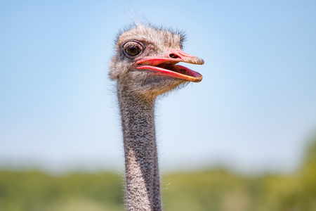 smiling ostrich closeup Stock Photo