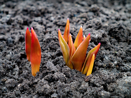 young sprouts tulips with red leaves isolated on background, close up, springtime concept