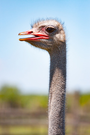 Portrait of an ostrich in sunny day. Close-up.