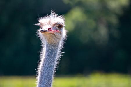 funny Ostrich face closeup