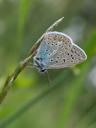Closeup of Common Blue butterfly Stock Photo