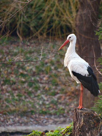 White stork standing on a tree stump