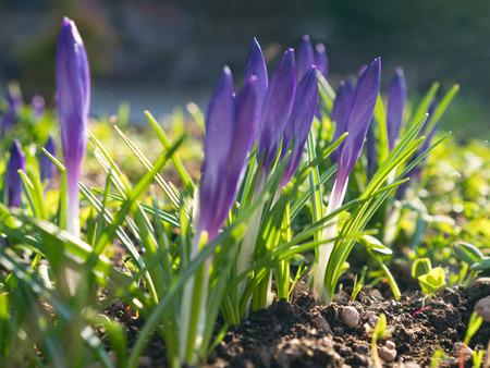 purple crocus buds at spring sun light Standard-Bild