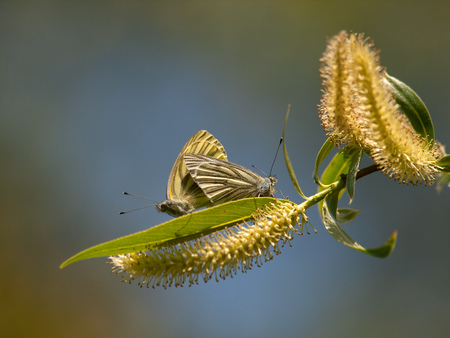 Two common blue butterflies, Polyommatus icarus, mate on spring Willow branch Stock Photo