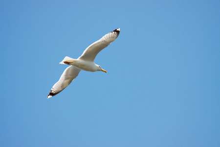 seagull on the sky Stock Photo