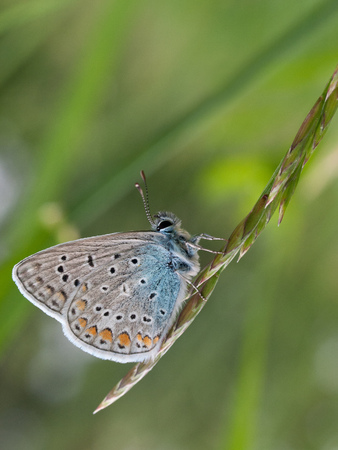 Common Blue butterfly (Polyommatus icarus) on wild grass closeup in summer. Stock Photo