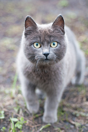 gray cat with big green eyes Stock Photo