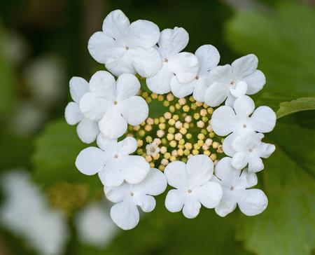 Decorative bush blooming beautiful white flowers with five petals decorative bush blooming beautiful white flowers with five petals in the garden stock photo 94965240 mightylinksfo