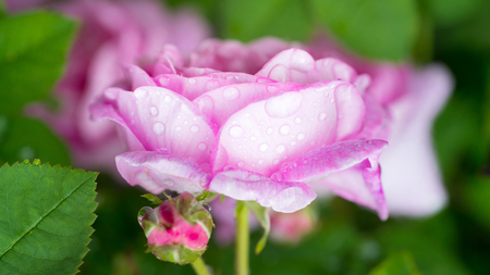 closeup of a pink rose flower with drops of water in a garden. Stock Photo