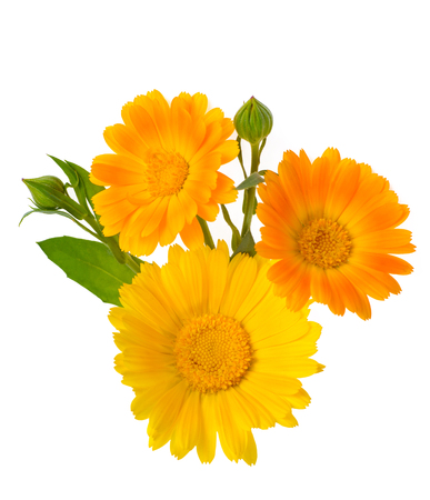 Calendula flowers with leaves and buds isolated on white Stock Photo