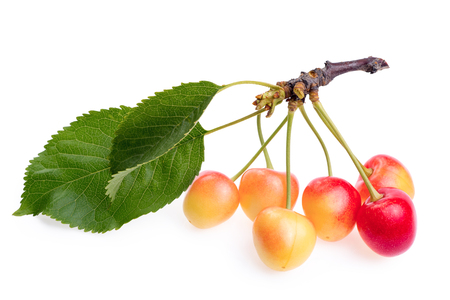 Branch with leaves and unripe cherries isolated on white