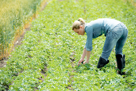 Woman agronomist checks field with potatoes