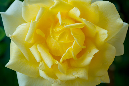 closeup view of yellow rose flower