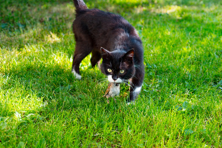 Black cat hunted a sparrow bird on beautiful green grass background