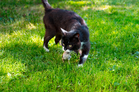 Beautiful black cat caught a sparrow on beautiful green grass background
