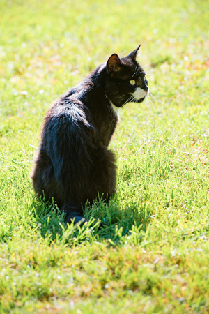 Black cat sitting on the lawn and warms up on hot sunny day Stock Photo