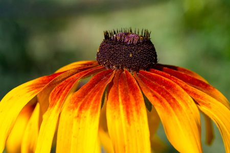side view of yellow-red Rudbeckia Coneflower flower. Close-up