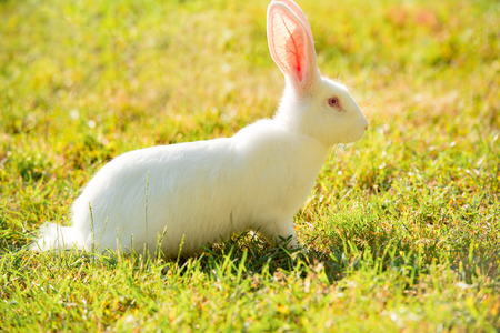 Long-eared white rabbit on green grass in summer day Stock Photo