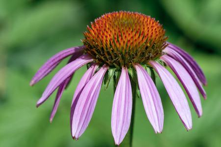 Photo of purple echinacea flower, close-up. Natural background