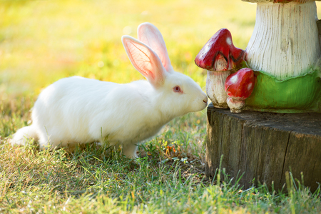 White rabbit sniffing wooden model of mushrooms. Close-up Stock Photo
