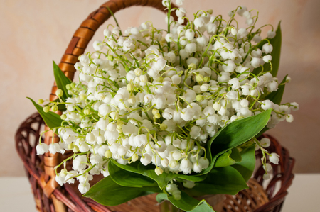 lilly of the valley with green leaves close up in the basket