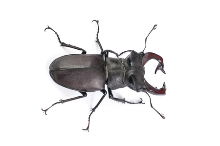 Stag Beetle Bug Insect. Male stag-beetle . Hi resolution studio photography Stock Photo