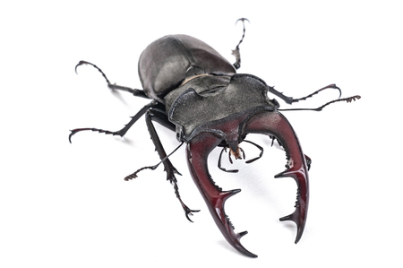 Male Stag Beetle Bug Insect. Closeup front view isolated on white background