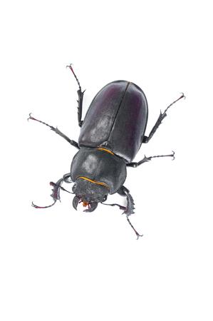 Stag Beetle Bug. Female stag-beetle . Hi resolution studio photography Stock Photo