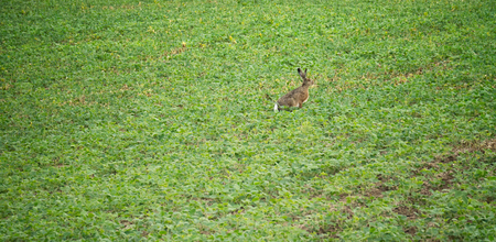 A hare eating crop on a farm field Stock Photo