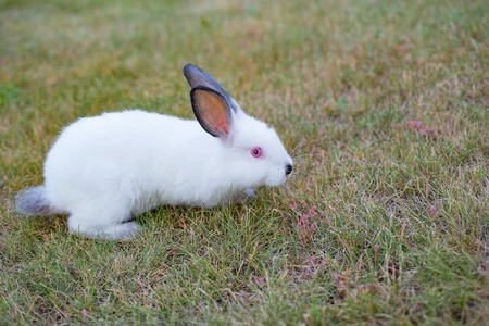 white little rabbit with red eyes and black nose playing outdoors Stock Photo