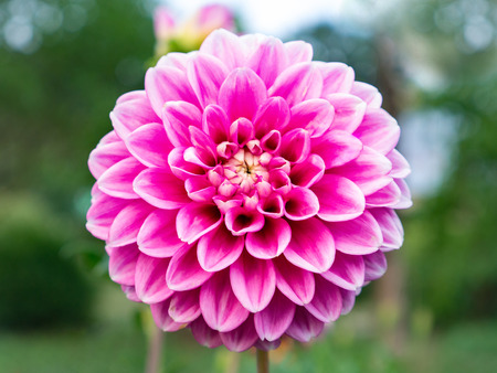pink dahlia flower close-up