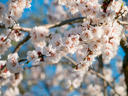 The apricot blossoms. Gentle flowers of an apricot are against the background of the blue sky Reklamní fotografie
