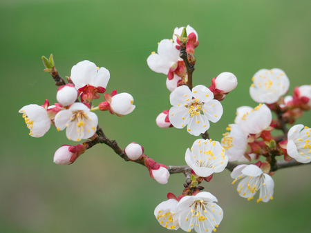 Tree of flowering apricot