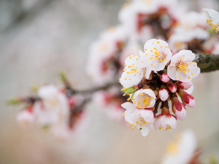 Flowers of apricot tree in spring when fell out the unexpectedly last snow